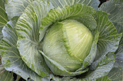 Organic Cabbage Growing in a Garden Stock Images