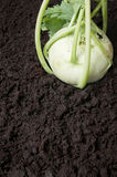 Organic cabbage kohlrabi turnip Royalty Free Stock Image