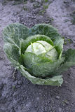 Organic cabbage Royalty Free Stock Photos