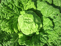 Organic Cabbage plant Stock Photography
