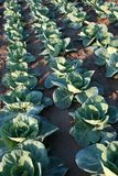 Cabbage Production Royalty Free Stock Photography