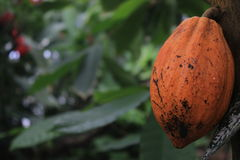Organic cacao fruit in the botanical garden of Gothenburg, chocolate, fruits, food, edible plant Stock Photos