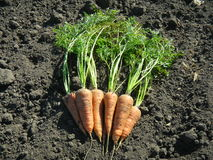 Organic carrot crop Royalty Free Stock Photography
