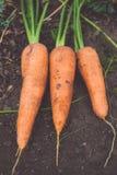 Organic carrot Royalty Free Stock Photo