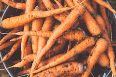 Organic carrot. Fresh crop of organic carrot on the ground Royalty Free Stock Photography