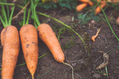 Organic carrot Stock Photography
