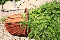 Organic carrot from rural permaculture i Stock Image