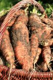 Organic carrot from country garden Stock Images
