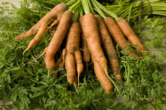 Organic carrots. Unwashed organic farm-fresh carrots on hessian sack cloth background Stock Image