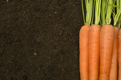 Organic carrots. Organic farm-fresh carrots with tops and copyspace soil background Royalty Free Stock Photography