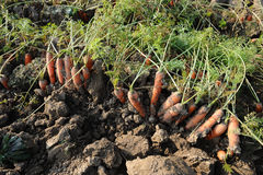 Organic Carrots. Carrot Growing Royalty Free Stock Images