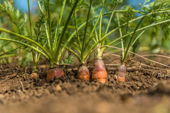 Organic Carrots. Carrot Growing Royalty Free Stock Photos