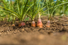 Organic Carrots. Carrot Growing Stock Photography