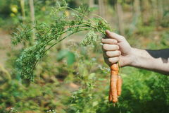 Organic Carrots close-up with hands in plantation farm stock photos