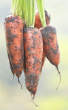 Organic carrots. Closeeup of some organic carrots Stock Photo