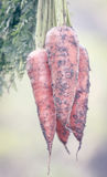 Organic carrots. Closeeup of some organic carrots Royalty Free Stock Images