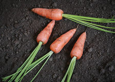 Organic carrots in the garden. Harvested some fresh and organic carrots in the garden Royalty Free Stock Photo