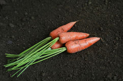 Organic carrots in the garden. Harvested some fresh and organic carrots in the garden Royalty Free Stock Images