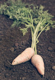 Organic carrots in the garden Royalty Free Stock Photography
