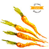 Organic carrots, watercolor vector Royalty Free Stock Photos