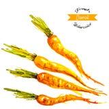 Organic carrots, watercolor vector. Illustration Royalty Free Stock Photos