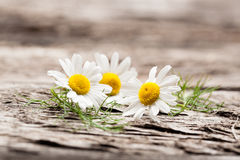 Organic chamomile flowers Royalty Free Stock Photos