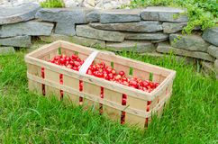 Organic cherries from bio garden Stock Photography