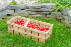 Organic cherries from bio garden Royalty Free Stock Photo