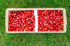 Organic cherries from bio garden Royalty Free Stock Image