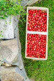 Organic cherries from bio garden Stock Images