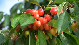 Organic cherries on a branch after the rain Royalty Free Stock Photo