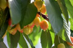 Organic cherries on a branch after the rain Royalty Free Stock Photography