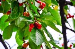 Organic Cherries Royalty Free Stock Images