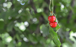 Organic Cherries Royalty Free Stock Photography