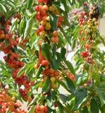 organic cherries Stock Images
