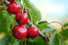 Organic cherries on a tree Stock Photography