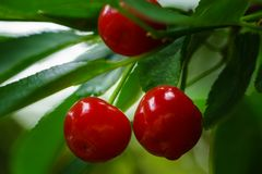 Organic cherry fruits with raindrops royalty free stock image