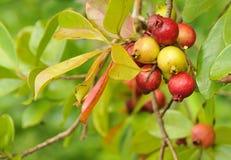 Organic Cherry Guava Fruit. Organic Cherry Guava growing in the luscious jungle Islands of Oahu, Hawaii Stock Photos