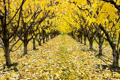 Autumn Cherry Orchard Royalty Free Stock Image