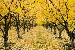 Autumn Cherry Orchard Stock Photos