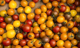 Organic Cherry Tomatoes At Harvest Royalty Free Stock Photography