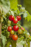 Organic cherry tomatoes Stock Photography