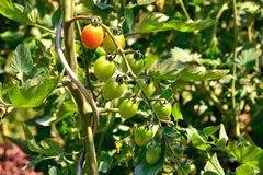 Organic cherry tomatoes ripening  in the garden Stock Photography