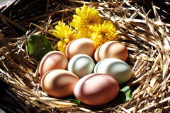 Organic chicken eggs in a nest Royalty Free Stock Photography