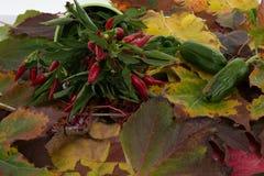 Organic chili pepper plants Stock Images