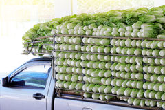Organic chinese cabbage arranged on truck Royalty Free Stock Images