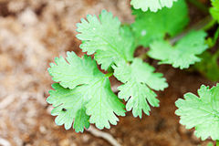 Organic Cilantro Royalty Free Stock Images