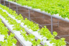 Organic clean food. Green Oak Lettuce Hydroponics plant agriculture farm stock images