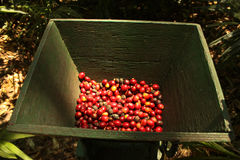 Organic coffee beans. royalty free stock photography