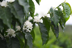 Organic Coffee tree blossom. Coffee Plantation In Colombia, Red Coffee Beans on a Branch of Tree royalty free stock image